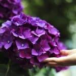 Co należy wiedzieć o sadzeniu i pielęgnacji hortensji?