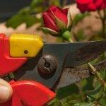 Roże – Jak przycinać?!