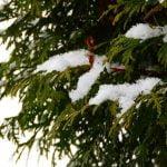 Tuje – zimozielone drzewa. Jak o nie dbać?