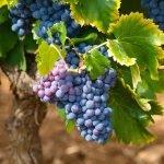 Jak zrobić wino z winogron we własnym domu?
