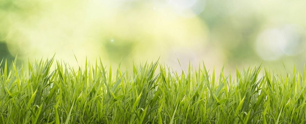 gęsty trawnik