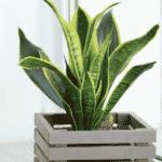 Sansewierie, wężownica, języki teściowej: jedna roślina wiele nazw i odmian